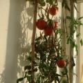 室外移植的西红柿