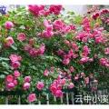 月季  蔷薇