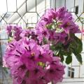 巴西丁香紫