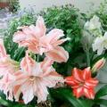 朱顶红和睡莲