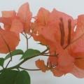 波伊斯玫瑰