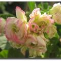 2013天竺葵之苹果玫瑰蕾