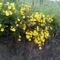 甘南藏区花卉