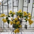 暗斑叶柠檬黄