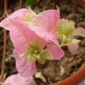 我的相册4粉色三角梅