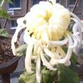 我的相册3菊花