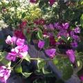 三角梅~丁香紫
