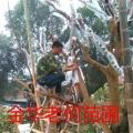 国外茶花品种小苗