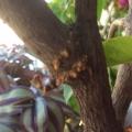 我的相册--嫩枝玉树嫁接长寿花