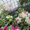 三角梅~金边叶樱花
