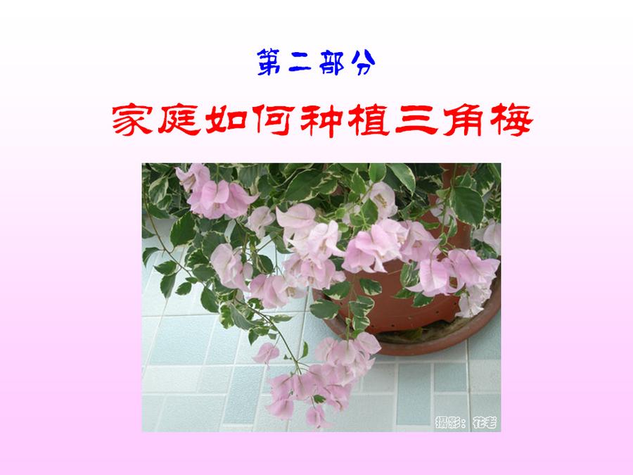 三角梅的欣赏与家庭种植 (41).jpg
