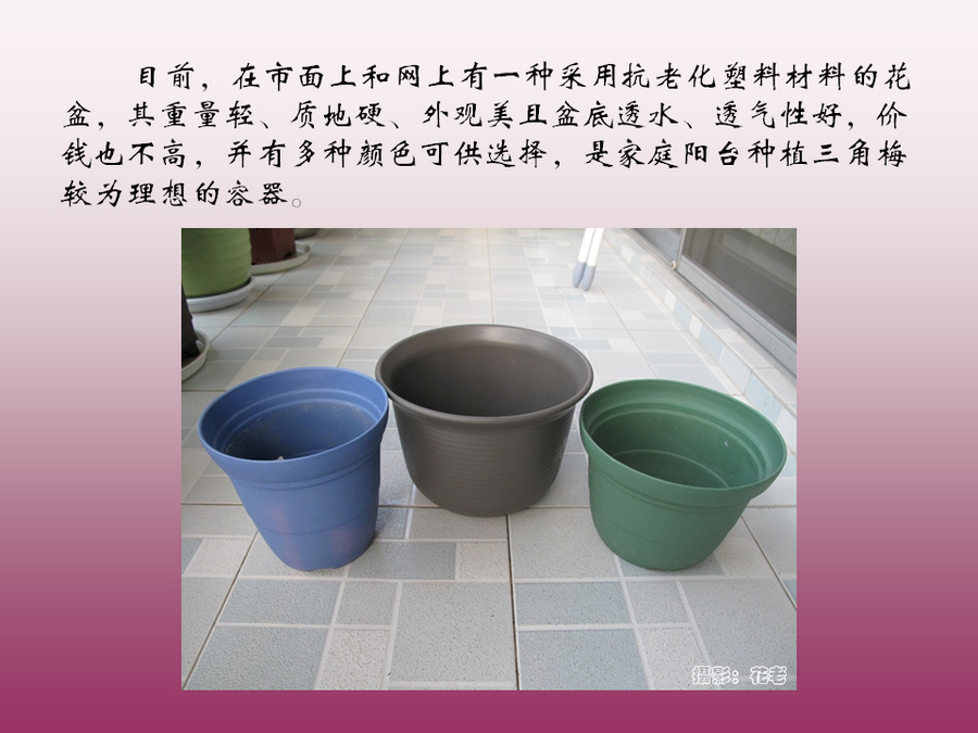 三角梅的欣赏与家庭种植 (46).jpg