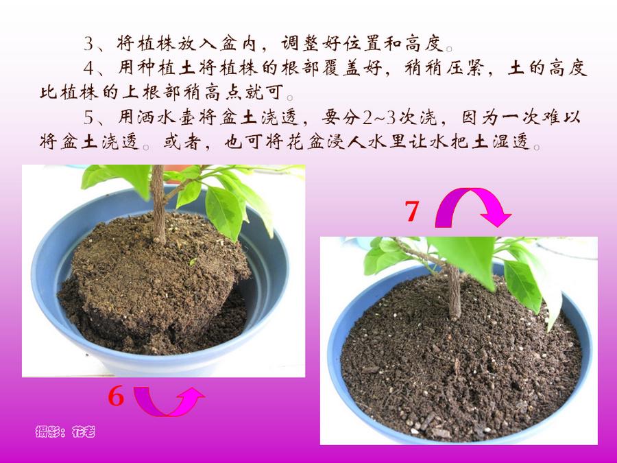 三角梅的欣赏与家庭种植 (49).jpg