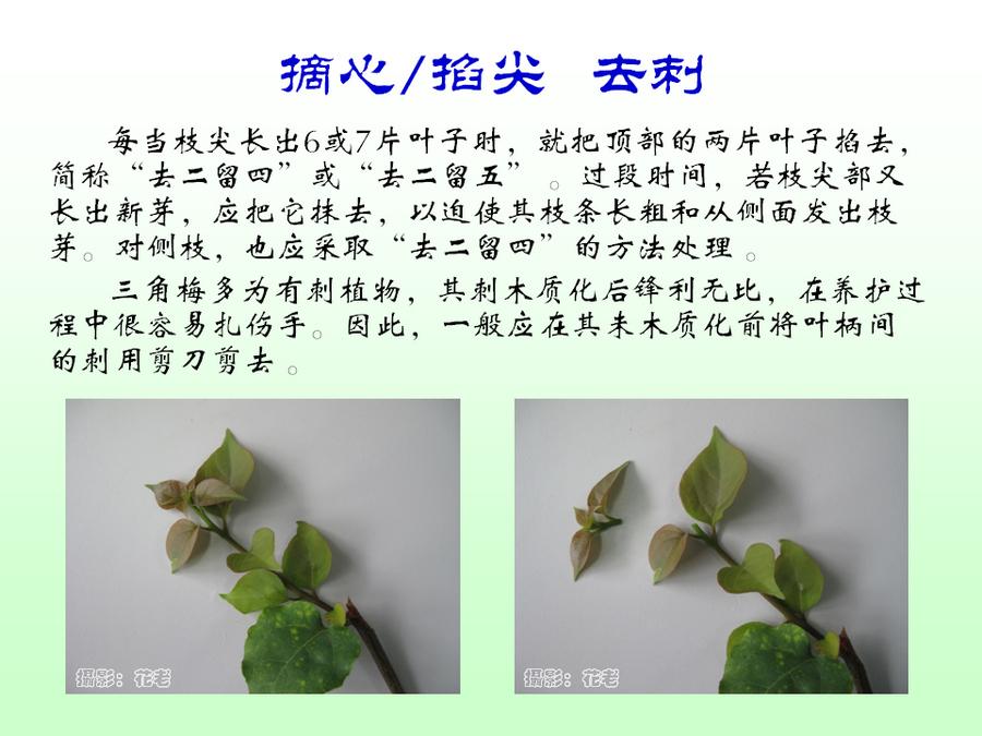 三角梅的欣赏与家庭种植 (51).jpg