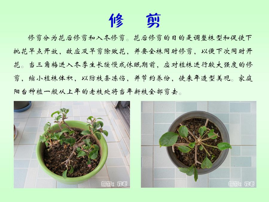三角梅的欣赏与家庭种植 (52).jpg