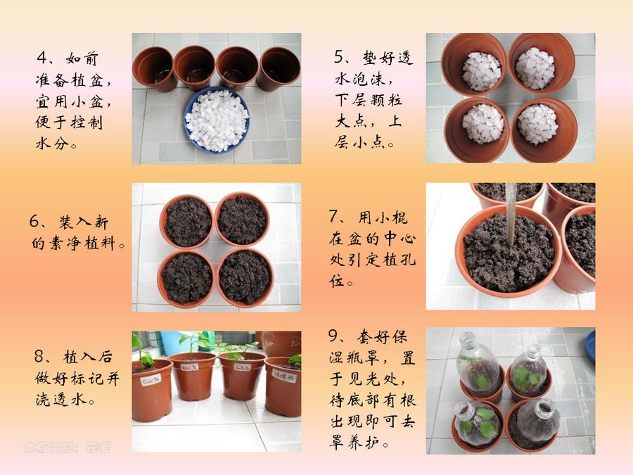 三角梅的欣赏与家庭种植 (54).jpg