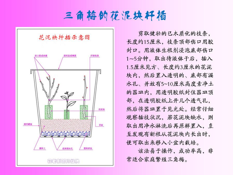 三角梅的欣赏与家庭种植 (55).jpg