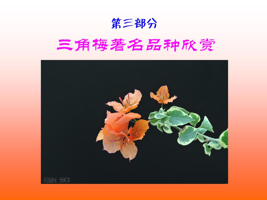 三角梅的欣赏与家庭种植 (57).jpg
