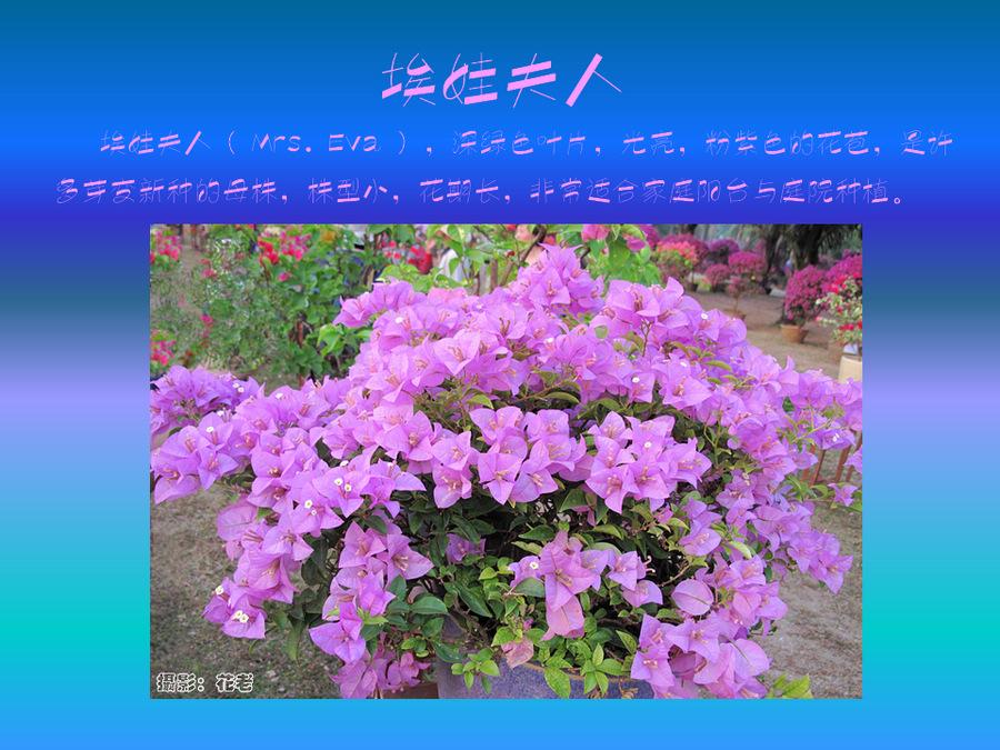 三角梅的欣赏与家庭种植 (59).jpg
