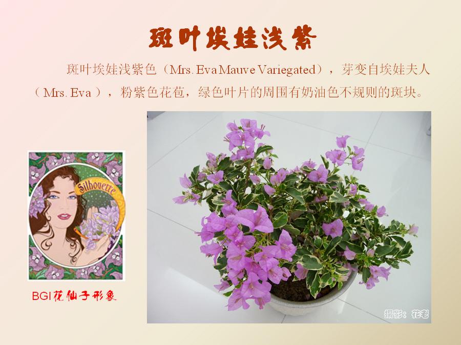 三角梅的欣赏与家庭种植 (60).jpg