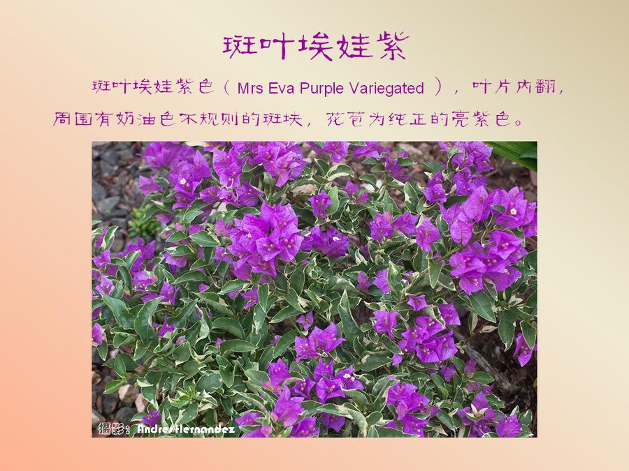 三角梅的欣赏与家庭种植 (61).jpg