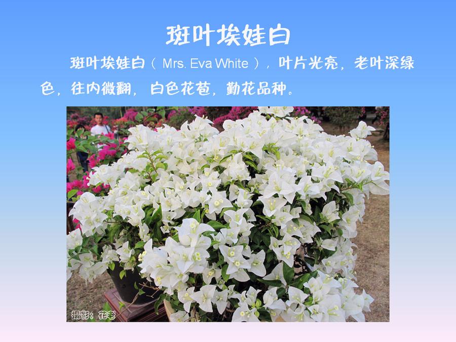 三角梅的欣赏与家庭种植 (62).jpg