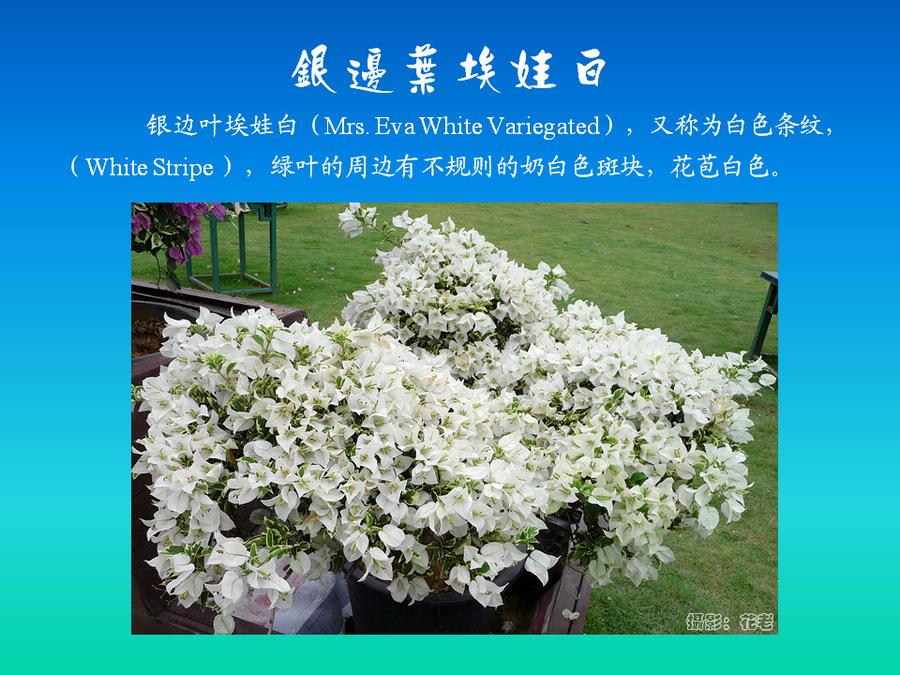 三角梅的欣赏与家庭种植 (63).jpg