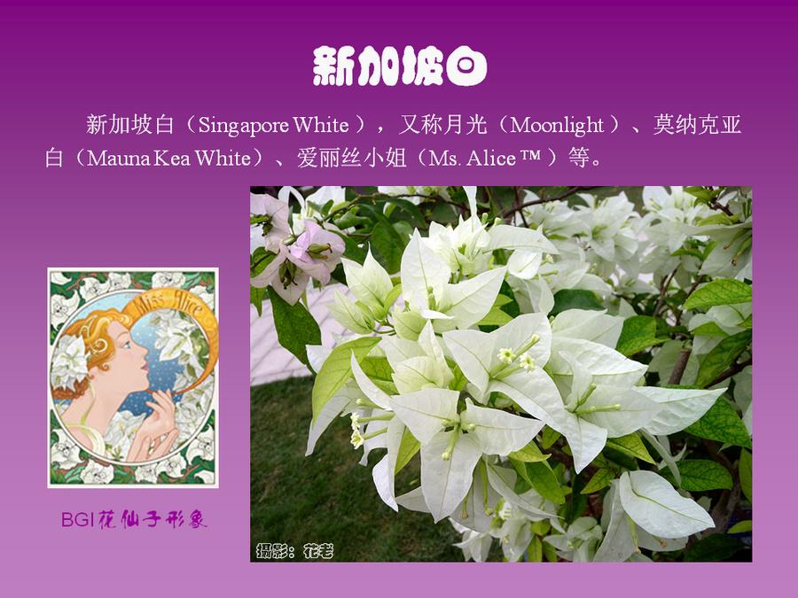三角梅的欣赏与家庭种植 (66).jpg