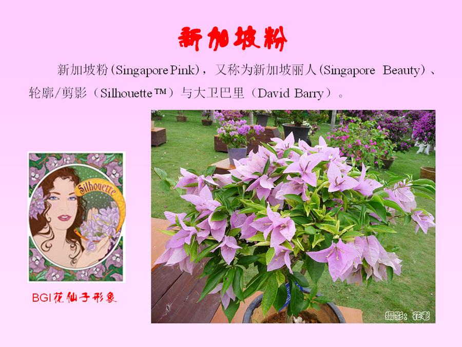 三角梅的欣赏与家庭种植 (67).jpg