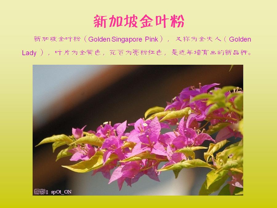 三角梅的欣赏与家庭种植 (68).jpg