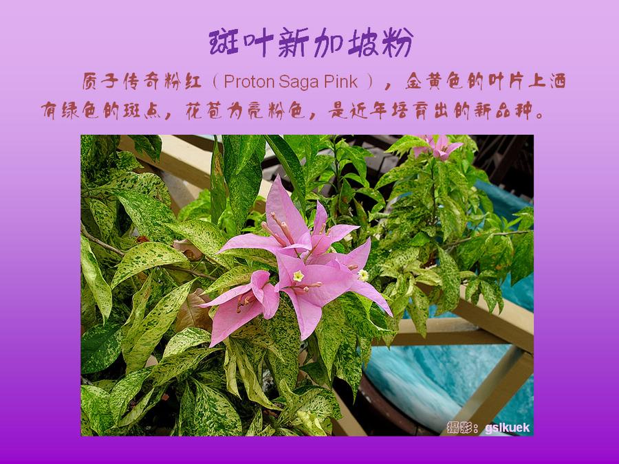 三角梅的欣赏与家庭种植 (70).jpg