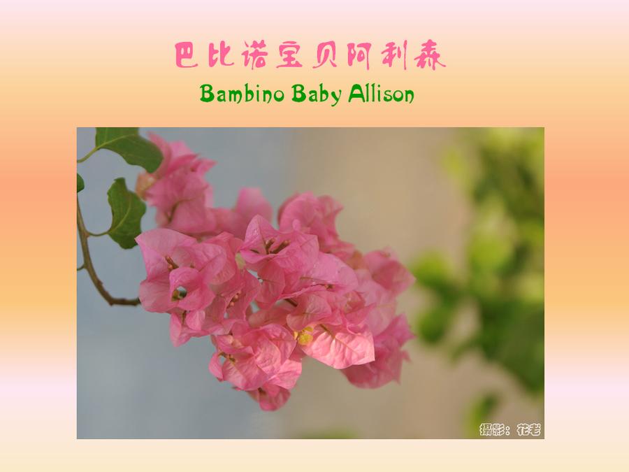 三角梅的欣赏与家庭种植 (72).jpg