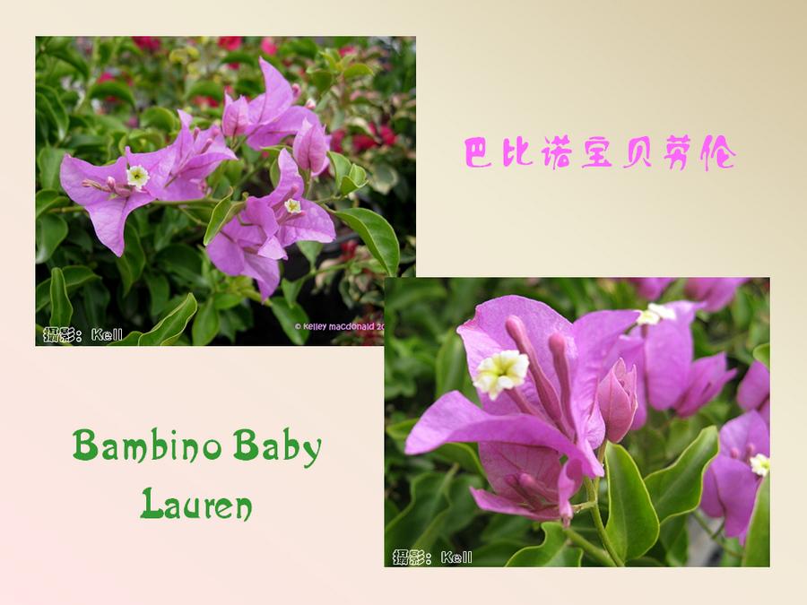 三角梅的欣赏与家庭种植 (73).jpg