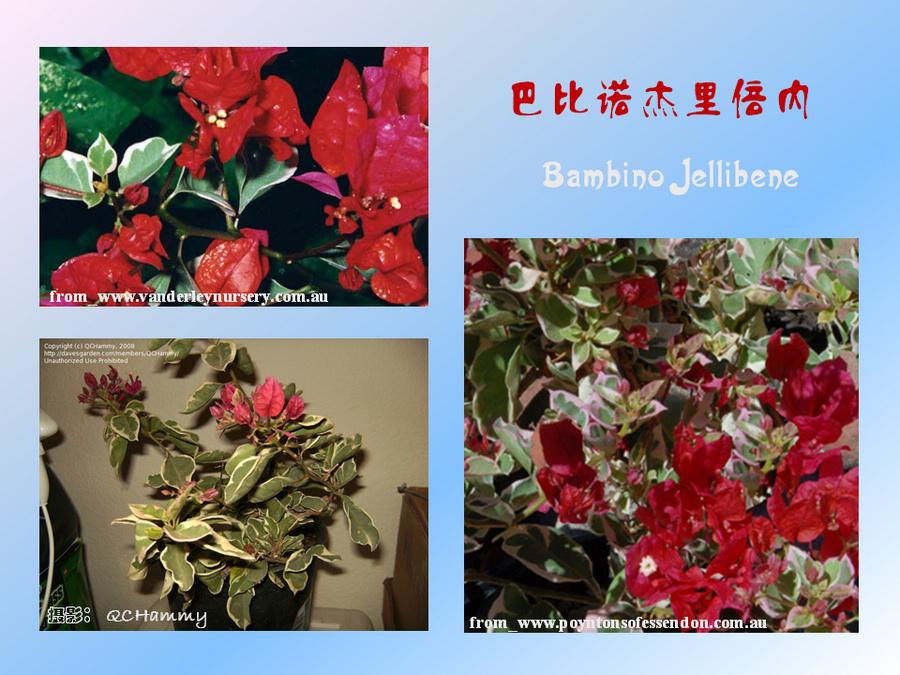 三角梅的欣赏与家庭种植 (76).jpg