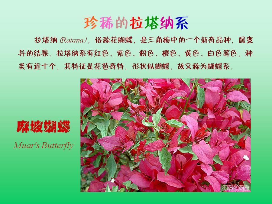 三角梅的欣赏与家庭种植 (88).jpg