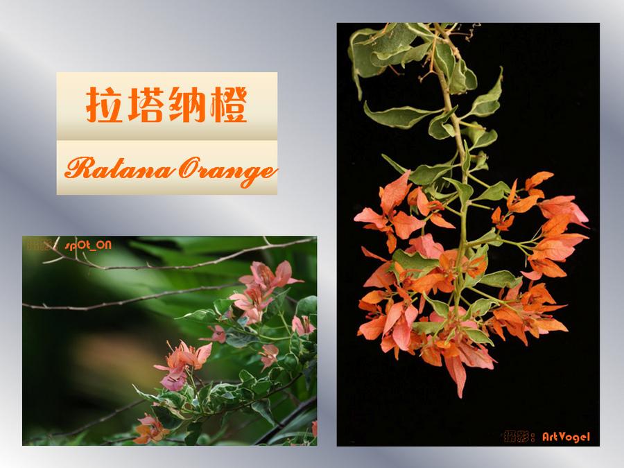 三角梅的欣赏与家庭种植 (90).jpg