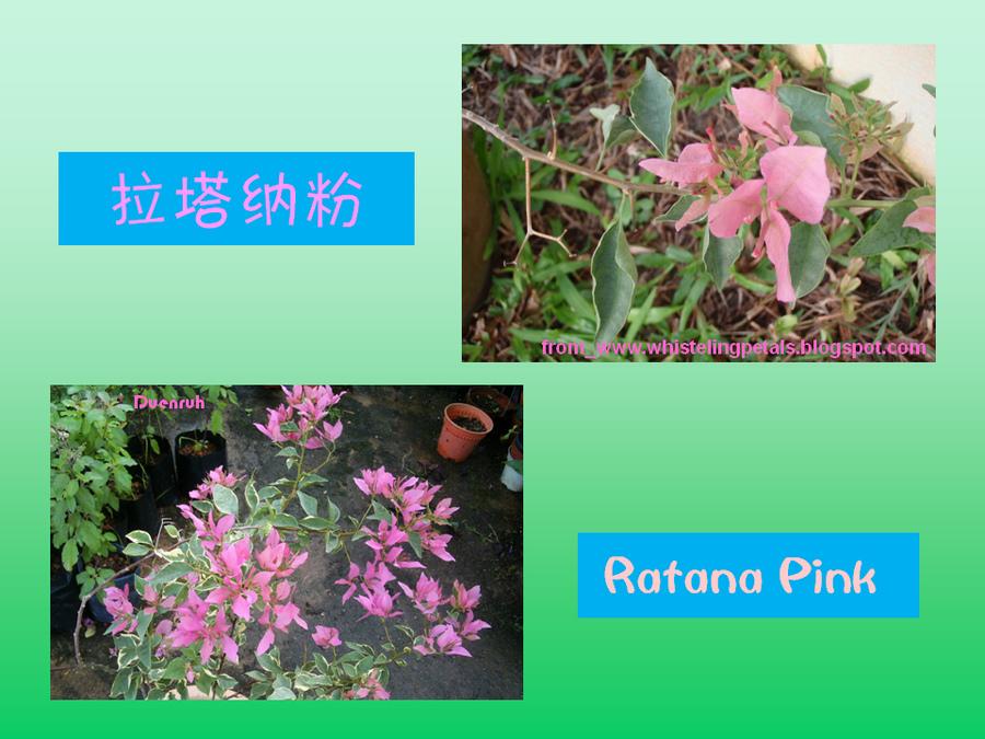 三角梅的欣赏与家庭种植 (91).jpg
