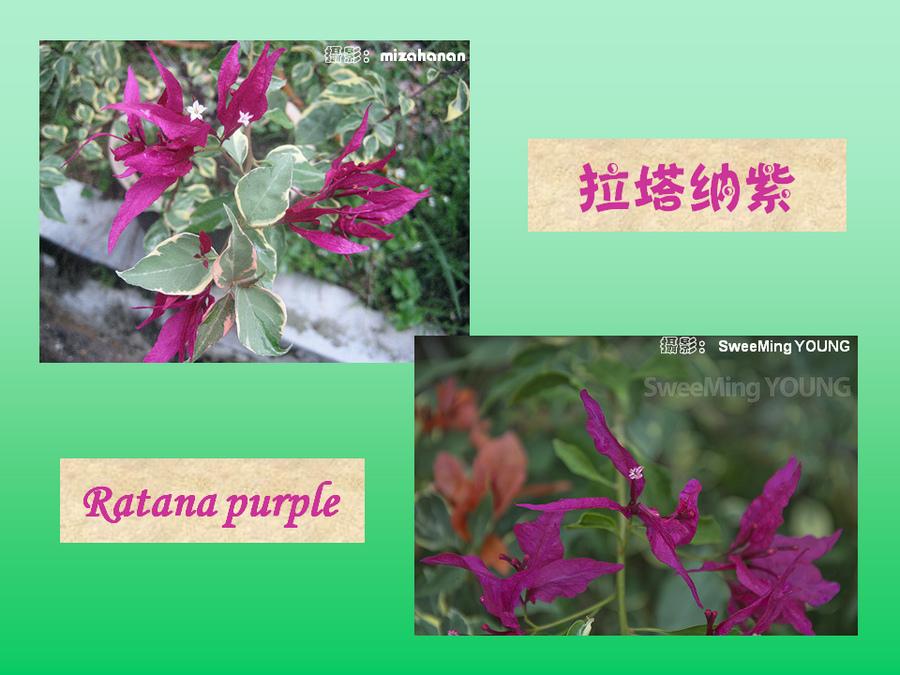 三角梅的欣赏与家庭种植 (92).jpg