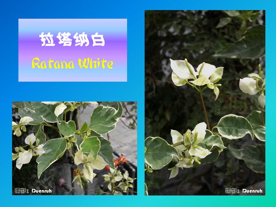 三角梅的欣赏与家庭种植 (95).jpg