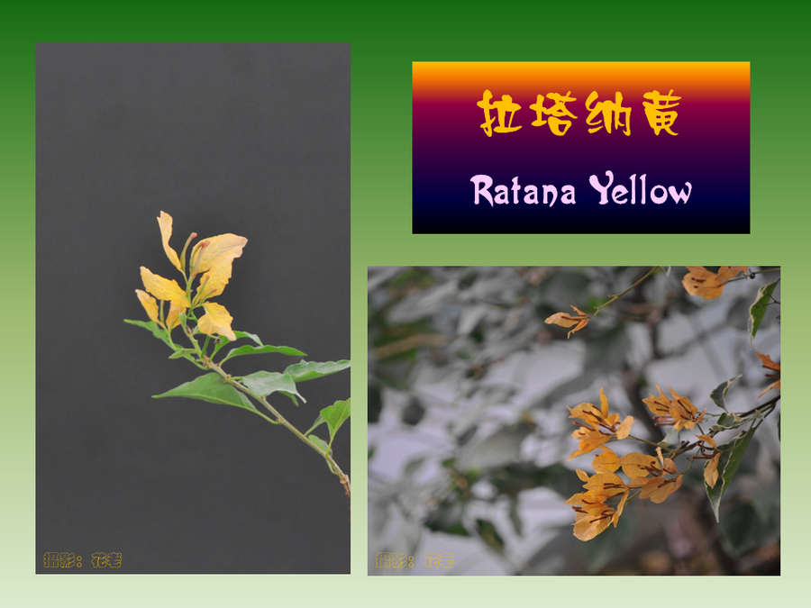 三角梅的欣赏与家庭种植 (96).jpg