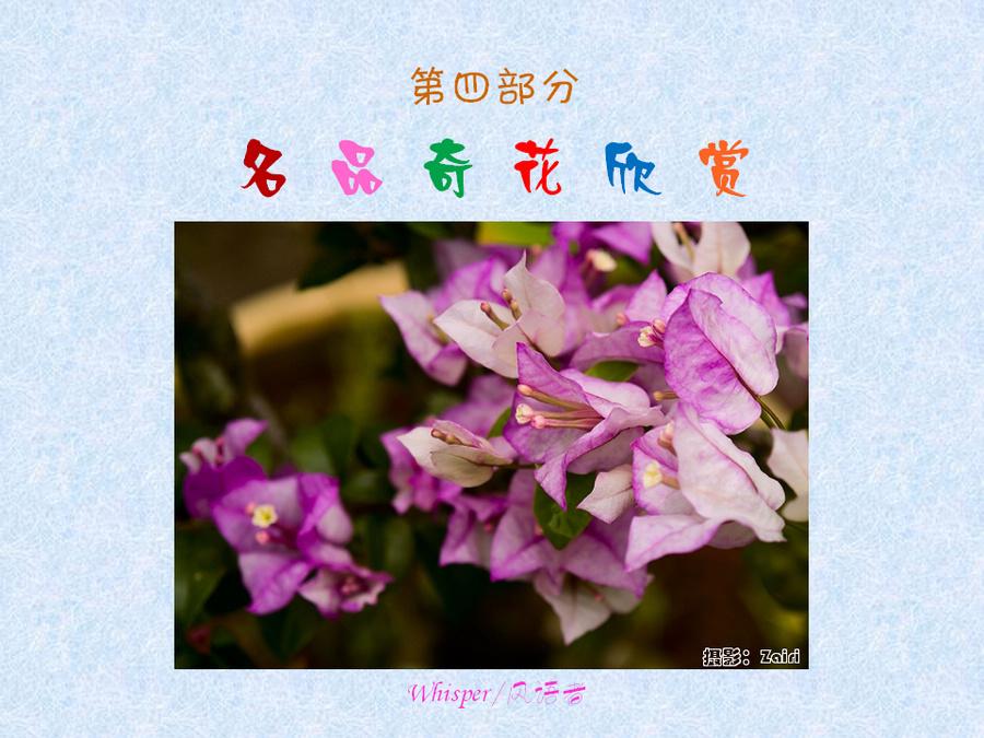 三角梅的欣赏与家庭种植 (97).jpg