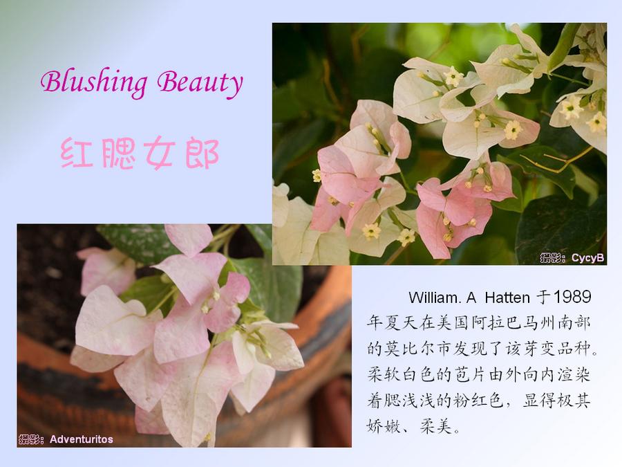 三角梅的欣赏与家庭种植 (99).jpg