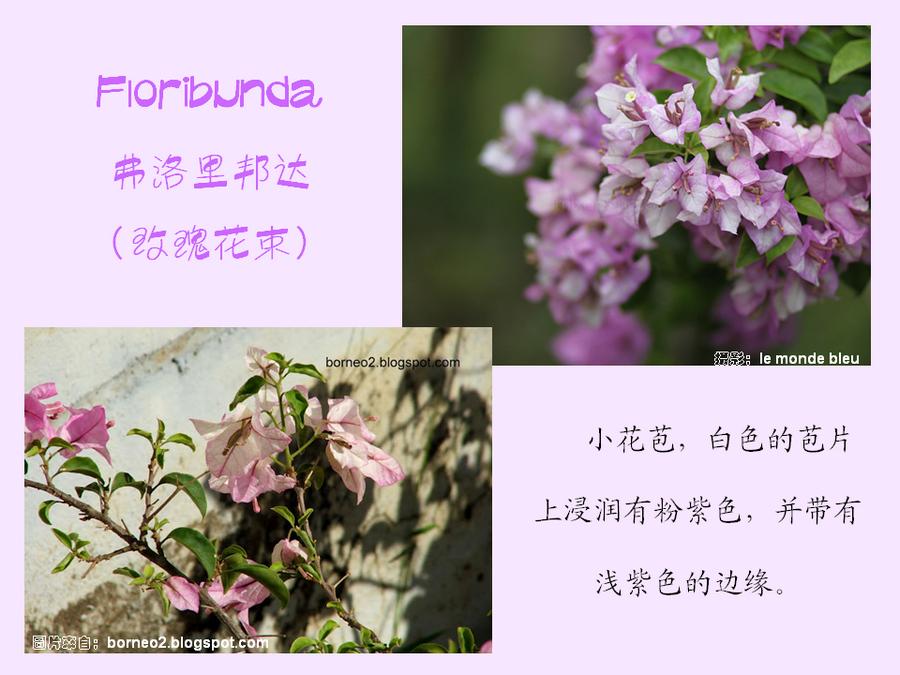 三角梅的欣赏与家庭种植 (103).jpg
