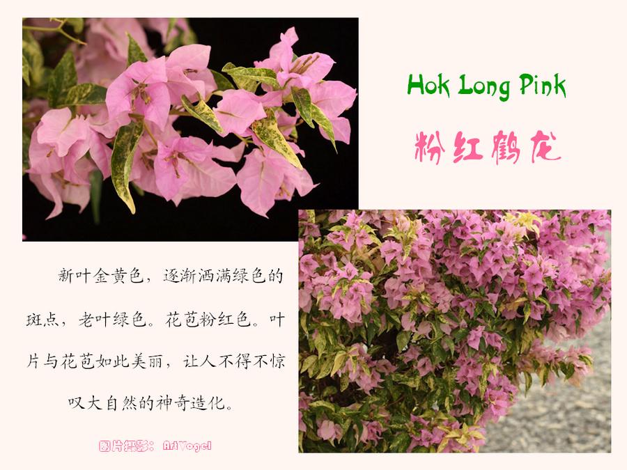 三角梅的欣赏与家庭种植 (105).jpg