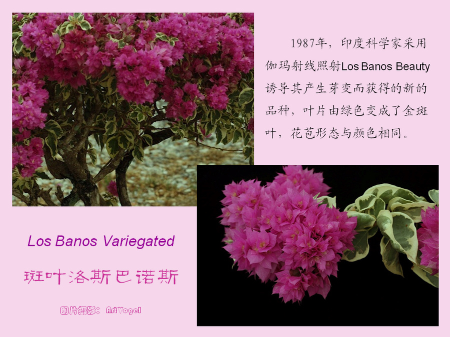 三角梅的欣赏与家庭种植 (106).jpg