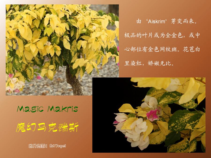 三角梅的欣赏与家庭种植 (107).jpg