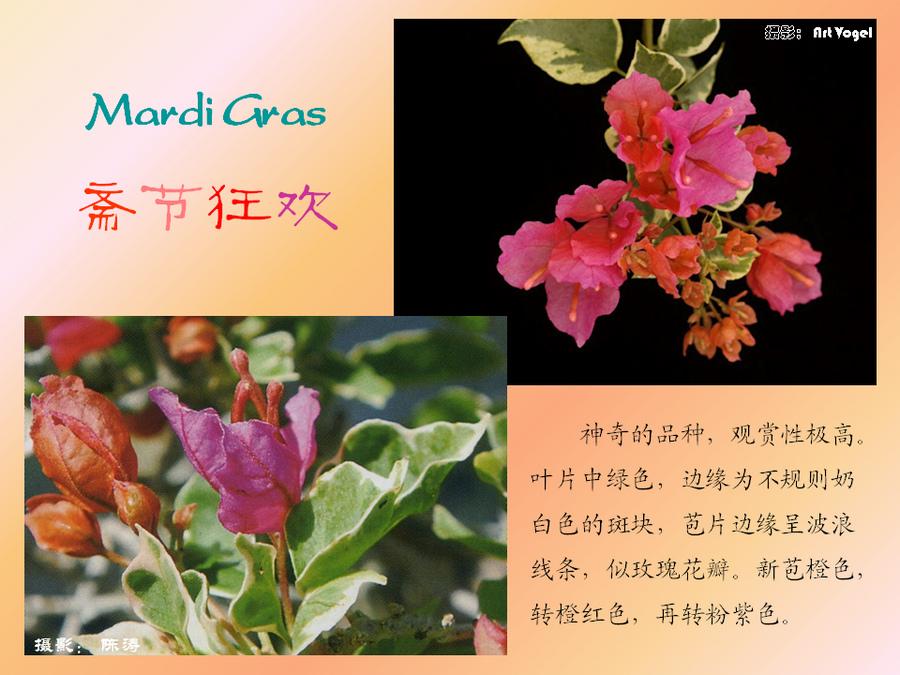 三角梅的欣赏与家庭种植 (108).jpg
