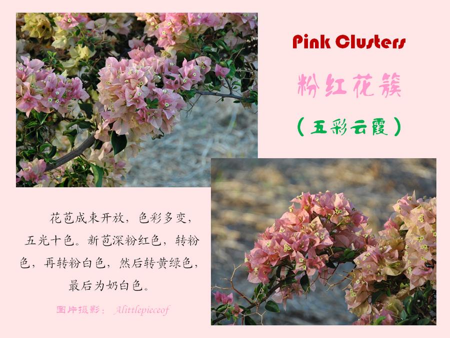 三角梅的欣赏与家庭种植 (111).jpg