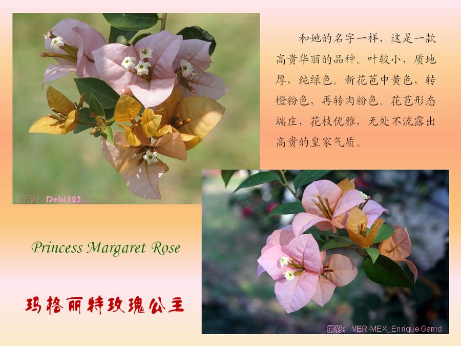 三角梅的欣赏与家庭种植 (113).jpg