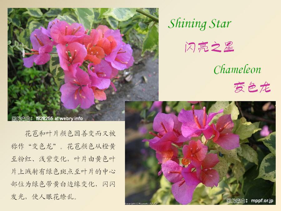 三角梅的欣赏与家庭种植 (114).jpg